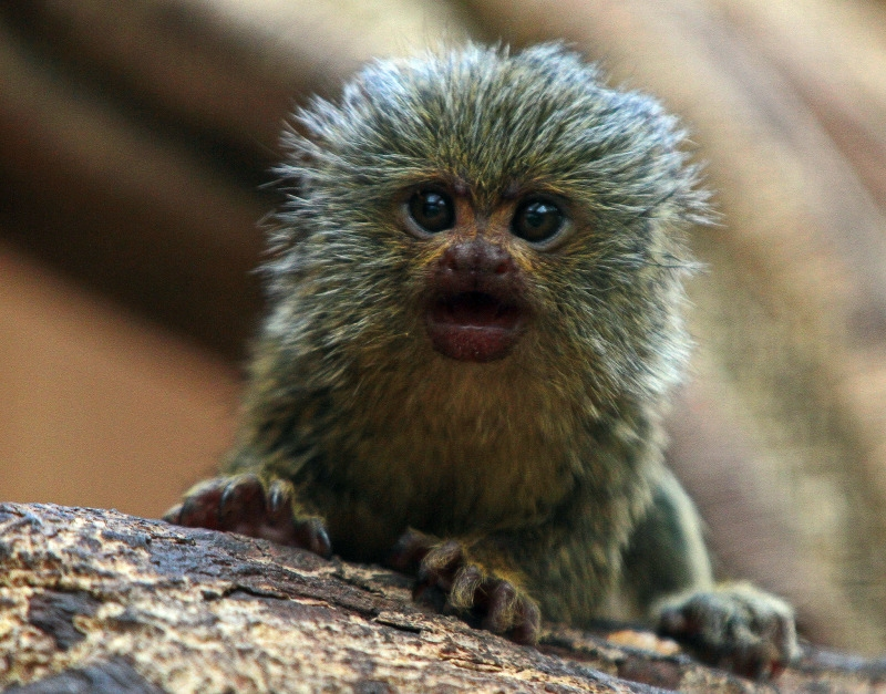 What a baby Marmoset Monkey