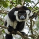 Black-and-white-Ruffed-Lemur