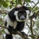 Black-and-white-Ruffed-Lemur