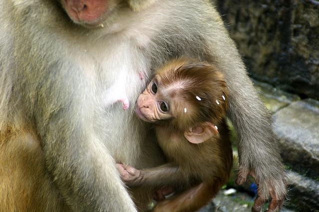 Monkeys-at-Svayambunath-2