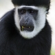 Portrait-of-a-colobus