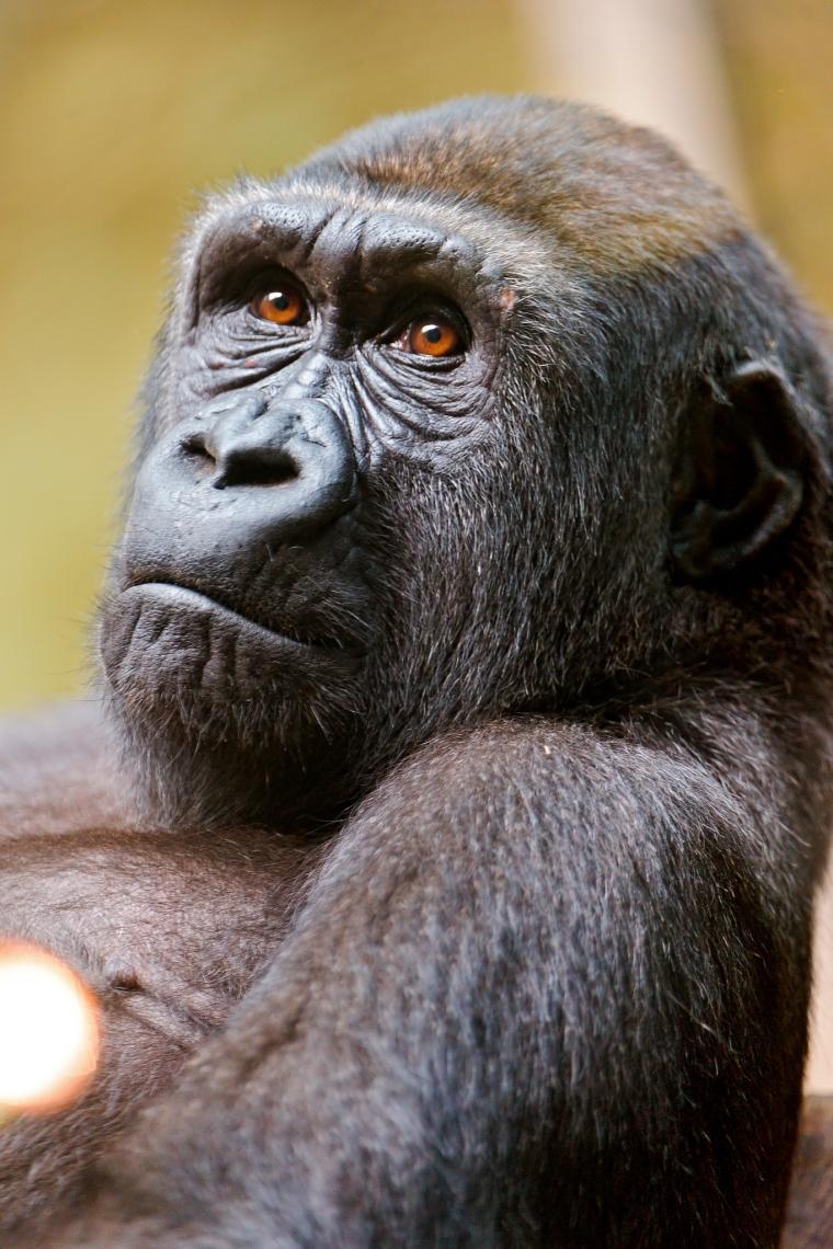 Thinking-gorilla