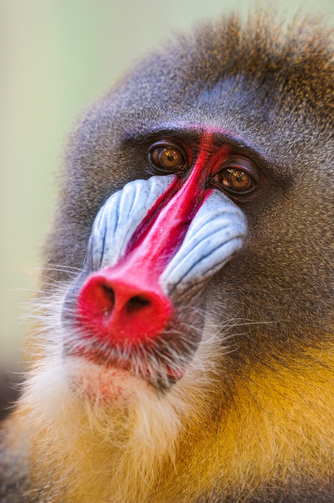 Male-mandrill-1