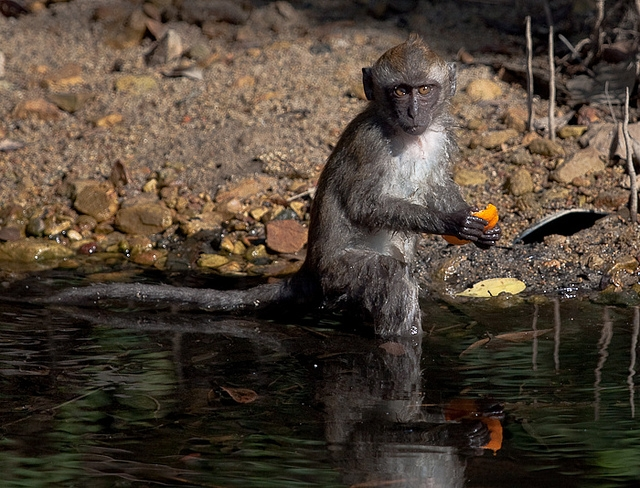 Long-Tailed-Macaque-3