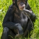 Young-chimpanzee-sitting
