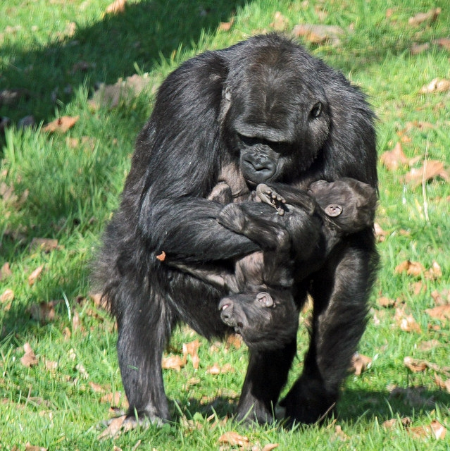 NAika-with-baby-and-one-of-the-twin-Burgerszoo