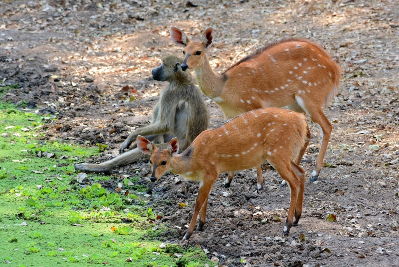 Bushbuck and Baboon together