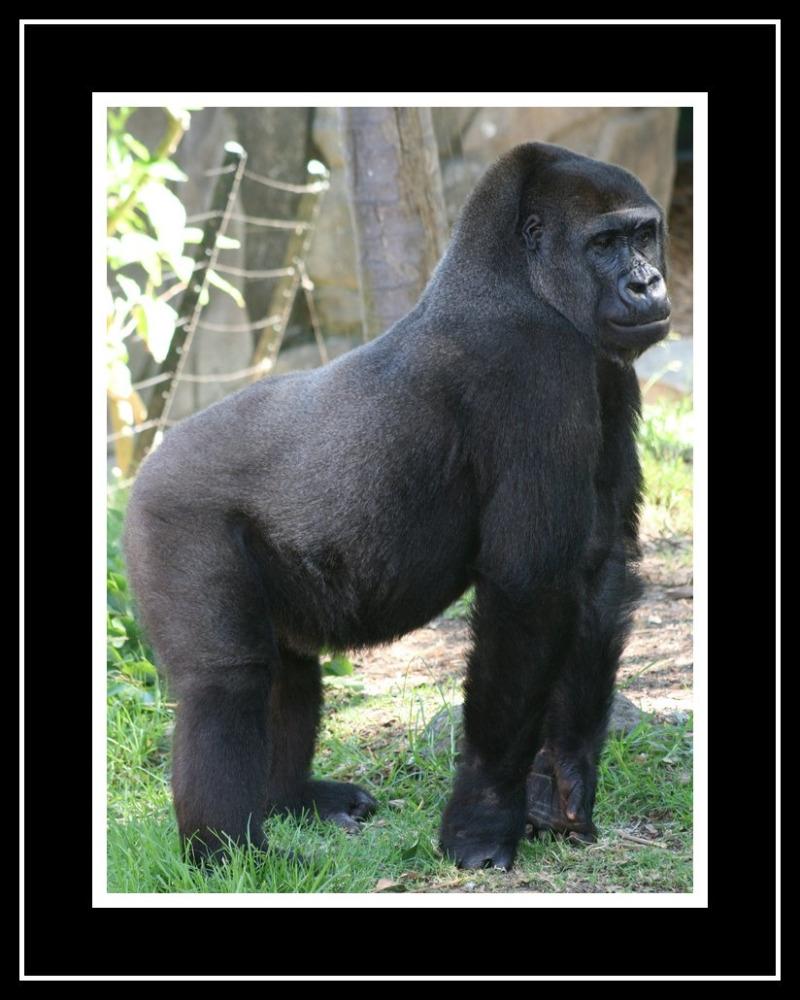 Western Lowland Gorilla at Taronga Zoo.