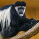Long-hair-colobus