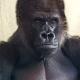 Serious-gorilla-2