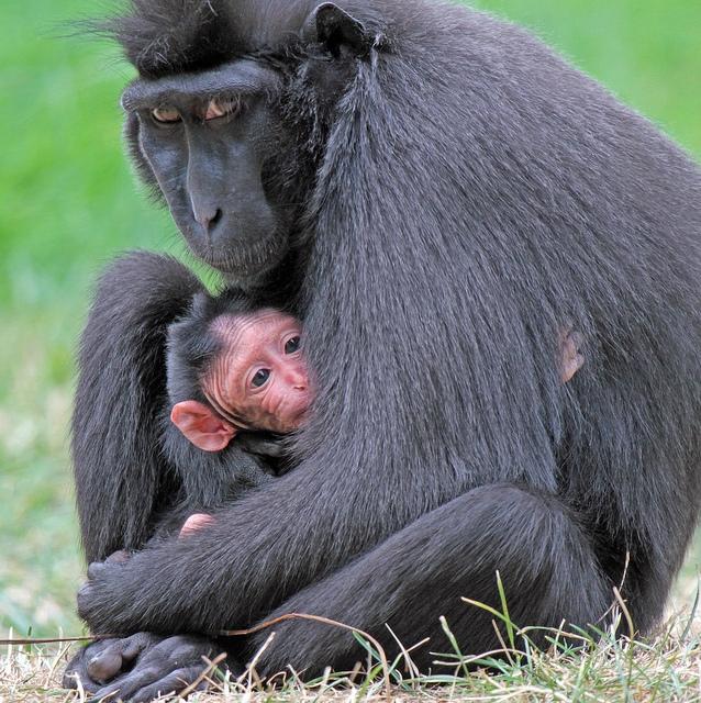Zwarte-kuifmakaak-monkey