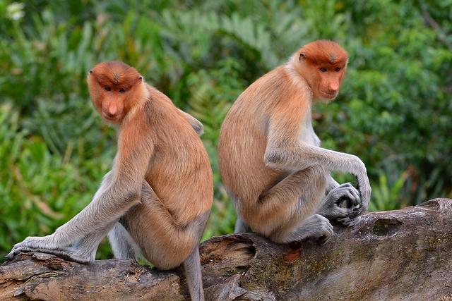 Proboscis-Monkeys-back-to-back-1