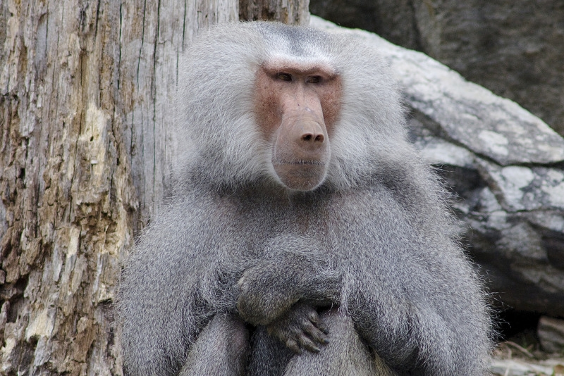Baboon with arms folded