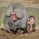 Infant and grown Baboon sit together