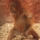 Sumatraanse-Orang-Oetan