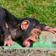 Drinking young chimpanzee