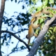 Two Squirrel monkeys in a tree in Costa Rica