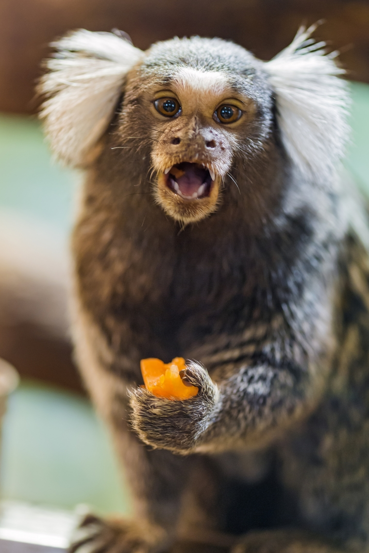 A-cute-marmoset-eating-some-fruit