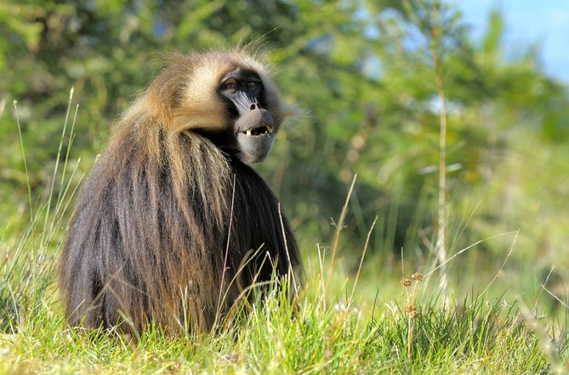 Gelada baboon sits down to relax