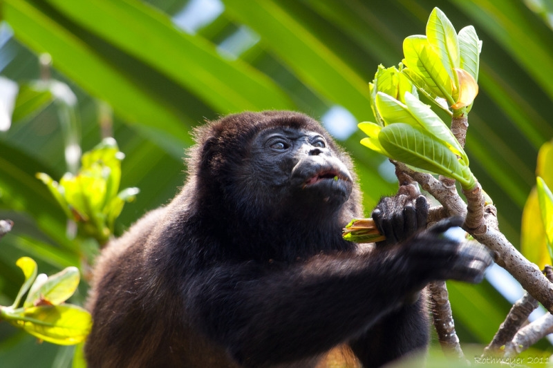 Costa Rican Howler Monkey about to feed