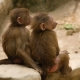 Baboon friends forever
