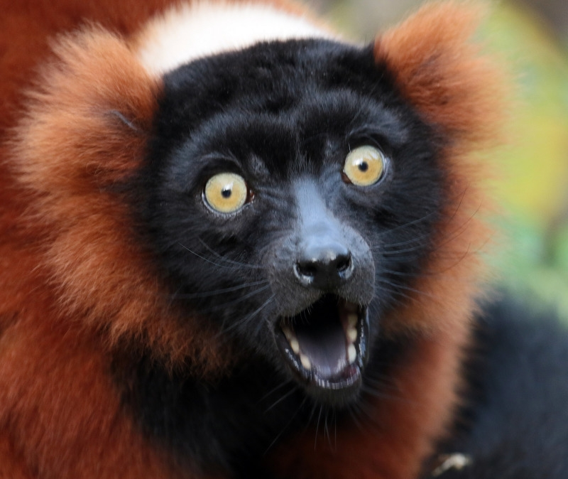 Lemur with a very surprised look
