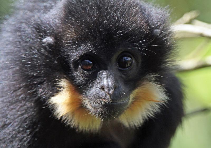 Staring baby Gibbon