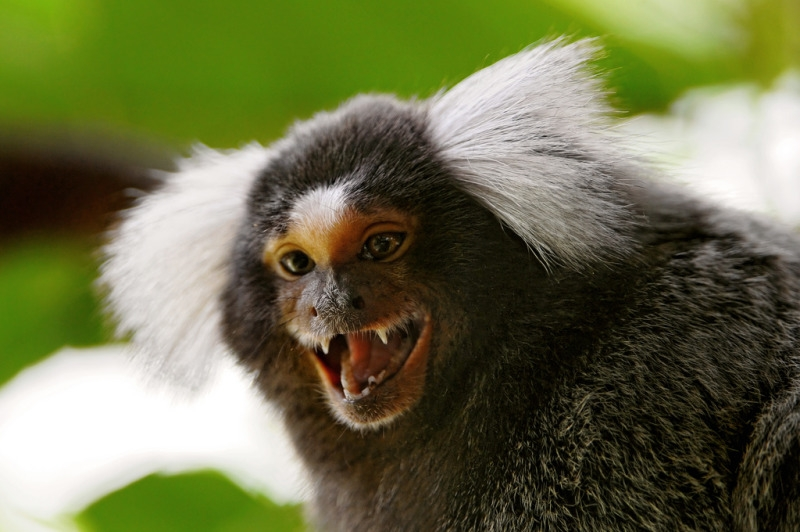 A Marmoset screaming from  a tree