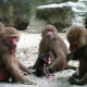 Baboons  at home Only To The Family That Loves You