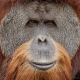 Sumatran Orangutan in Zoo Miami
