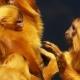 Golden Lion Tamarin monkeys grooming