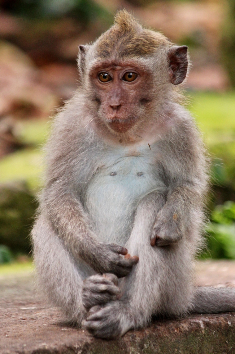 Balinese Long-Tailed Monkey