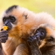 Mother-and-baby-gibbons-eating