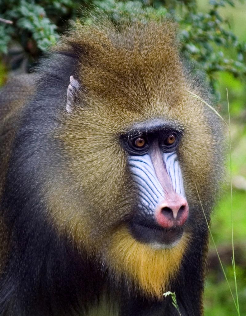 Close up of Mandrill at Chester zoo