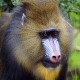 Close up of Mandrill at Chester zoo