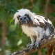 Cotton-top-Tamarin-1