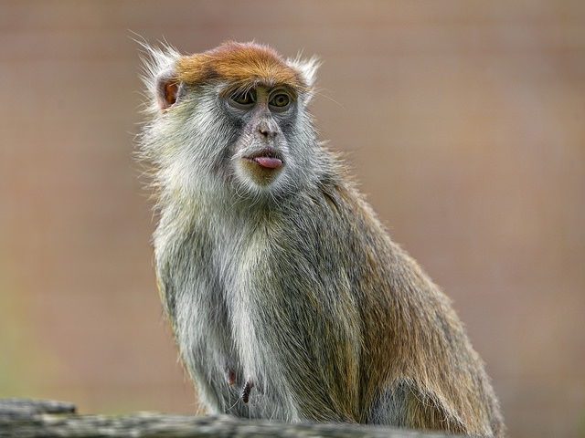Macaque-showing-a-bit-of-tongue