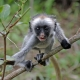Baby Zanzibar Red Colobus Monkey