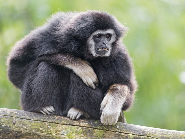 Black-gibbon-on-the-branch