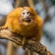 Golden lion tamarin on the branch