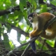 Squirrel Monkey at Corcovado National Park