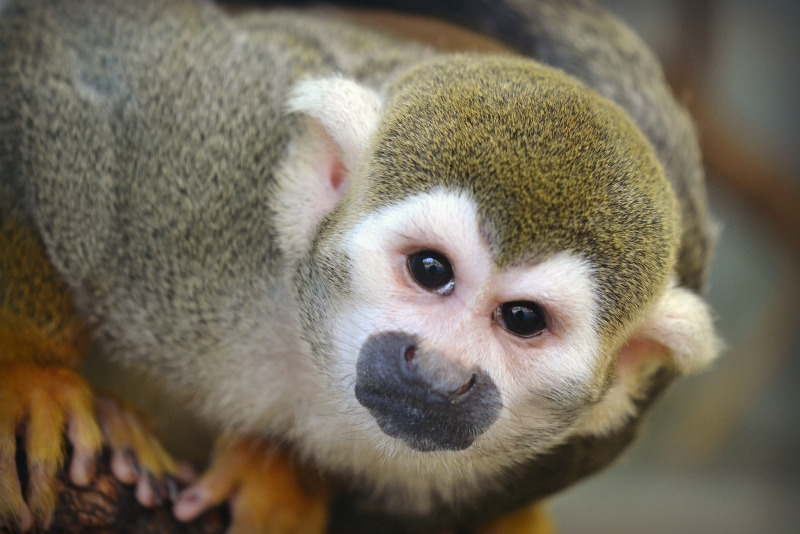 A squirrel monkey checking out the photographer
