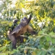 Capuchin monkey collecting fruits
