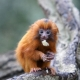 Baby golden lion Tamarin having a bite