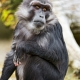 Sitting-Tonkean-macaque
