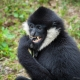 Henry The Gibbon in Miami