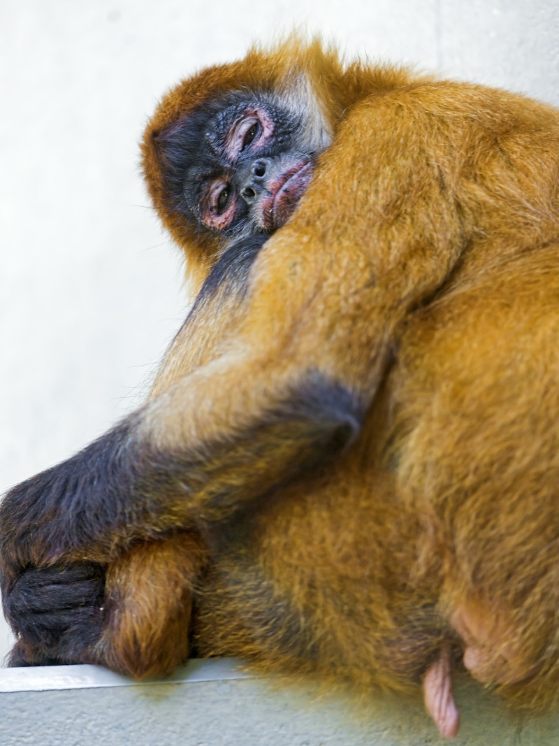 Relaxed female spider monkey