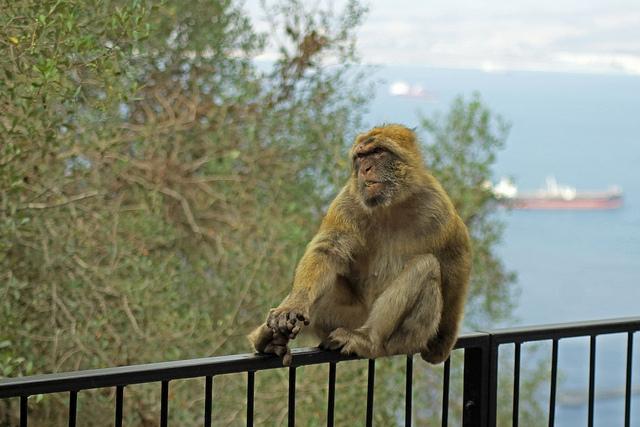 Barbary-Macaque