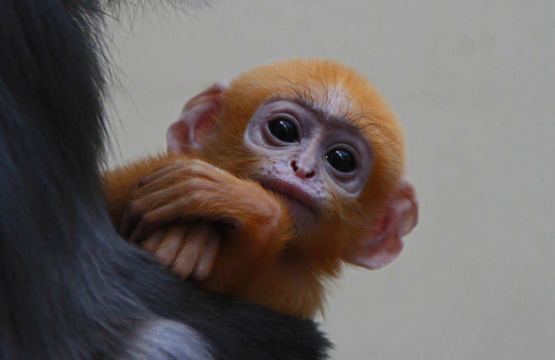 Langur monkey with folded arms