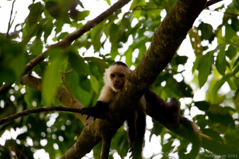 Capuchin Monkey at Hacienda Baru